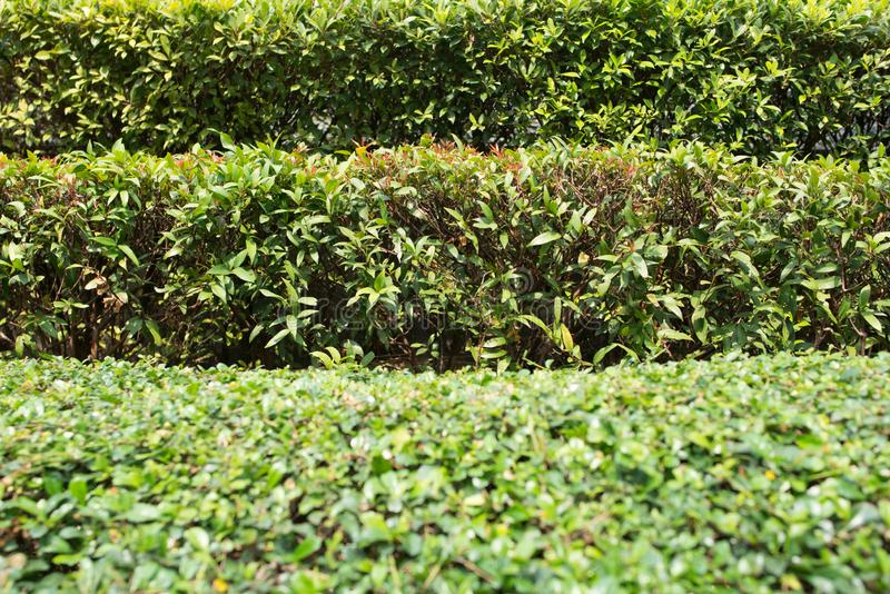 Arbustos arreglados Varias filas de la textura natural acortada de los arbustos fotografía de archivo