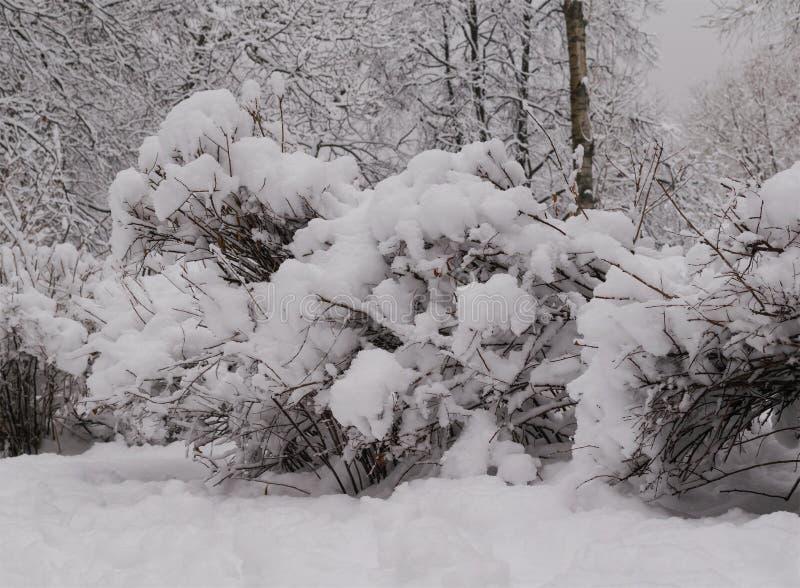 Arbustos cobertos com a espuma da neve foto de stock