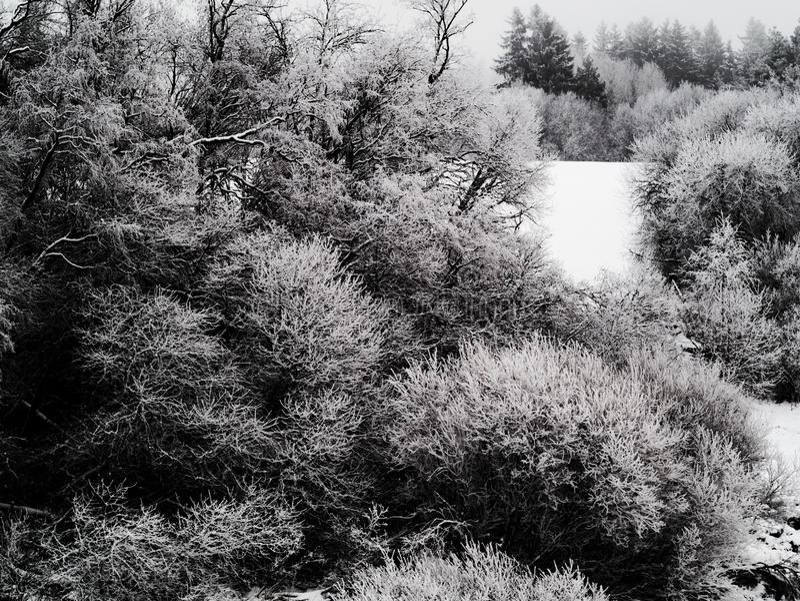 Arbustos cobertos em uma camada grossa de gelo com os ramos nevado Atmosfera nublado e paisagem congelada da neve no imagem de stock royalty free