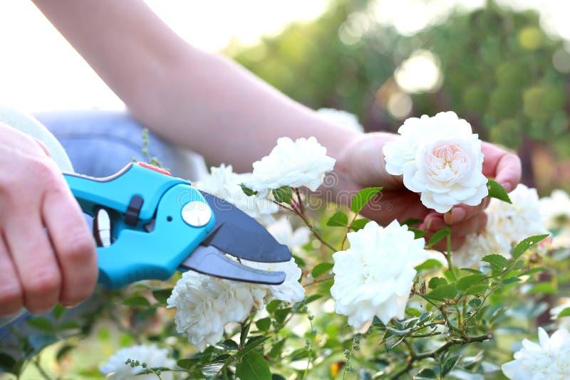 Arbustos color de rosa del cuidado imagen de archivo libre de regalías
