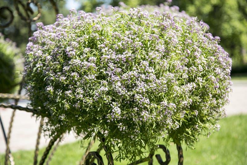 Arbustos con las flores foto de archivo libre de regalías