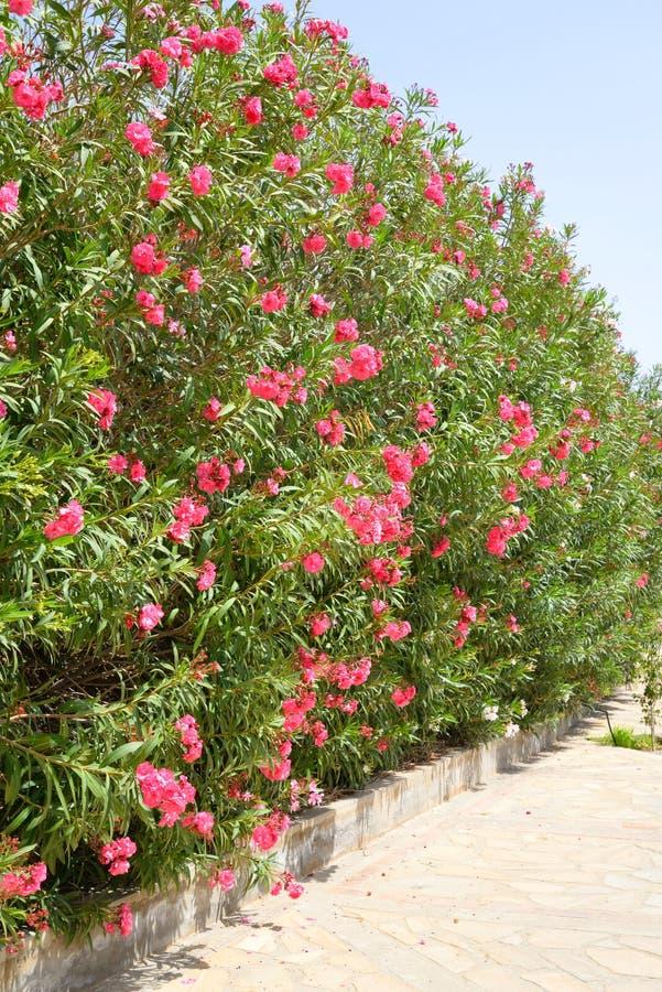 Arbustos con las flores rojas foto de archivo imagen for Arbustos con flores