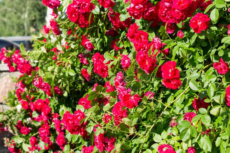 Arbustos cor-de-rosa vermelhos com folhas verdes, um presente perfeito para uma mulher para alguma ocasião Vista luxuosa em um di imagens de stock