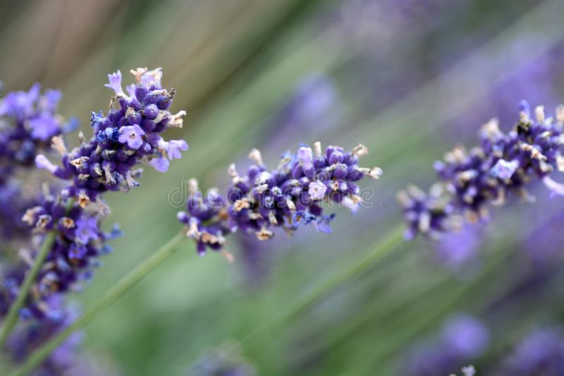 Arbustos da alfazema no dia ensolarado imagens de stock