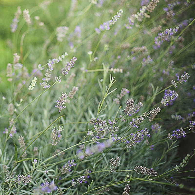 Arbustos da alfazema no fundo borrado verde imagem de stock