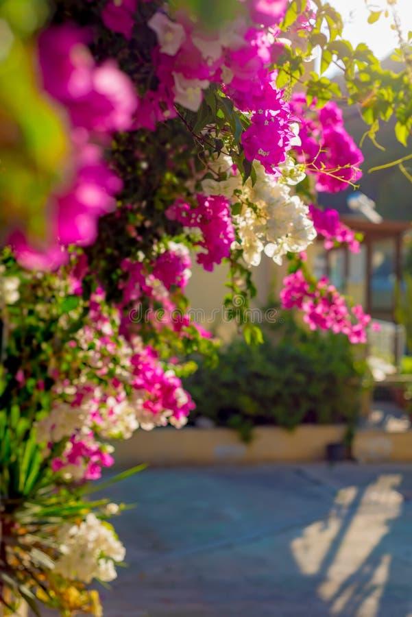 Arbustos da buganvília com as flores de florescência do rosa e as brancas contra um fundo borrado foto de stock
