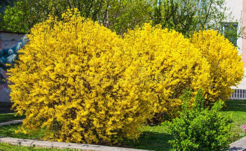 Arbustos da forsítia foto de stock royalty free