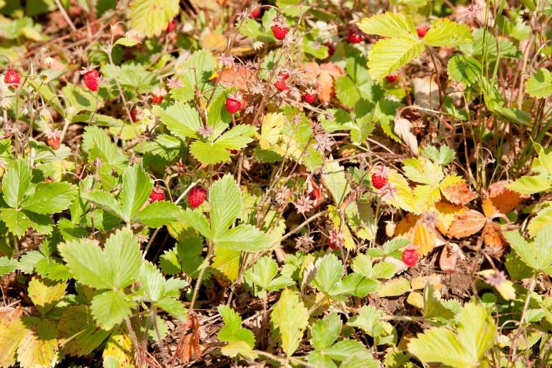 Arbustos da morango em um suburbano fotos de stock royalty free