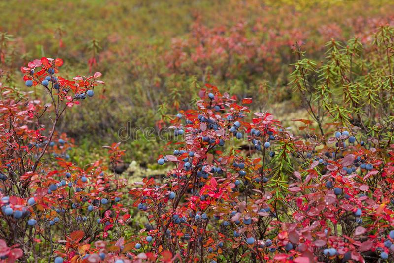 Arbustos de arándano en otoño fotos de archivo libres de regalías