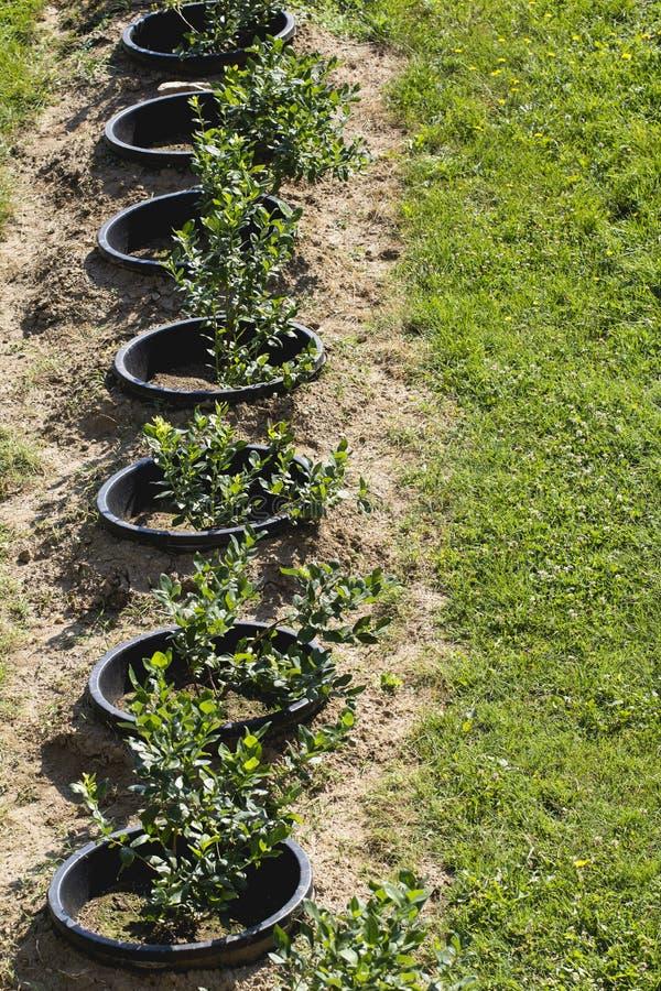 Arbustos de arándano jovenes en la plantación orgánica Huerta en verano fotos de archivo