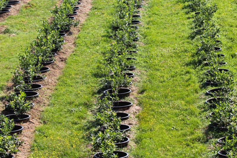 Arbustos de arándano jovenes en la plantación orgánica Huerta en verano fotos de archivo libres de regalías