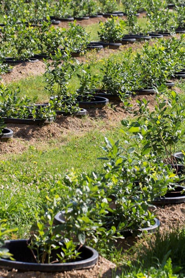 Arbustos de arándano jovenes en la plantación orgánica Huerta en verano imágenes de archivo libres de regalías
