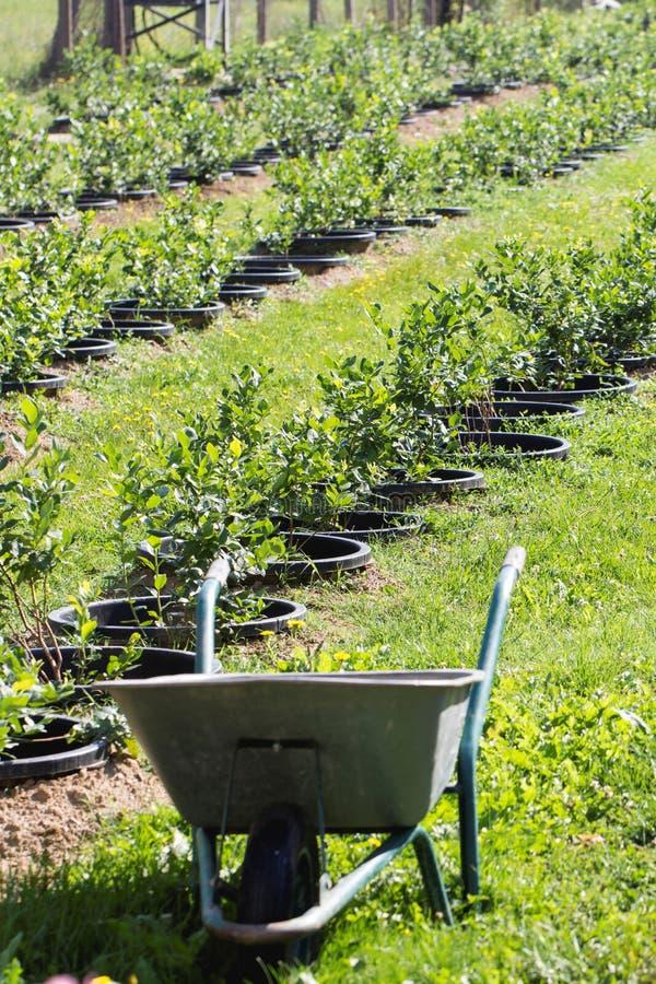 Arbustos de arándano jovenes en la plantación orgánica Huerta en verano fotografía de archivo libre de regalías