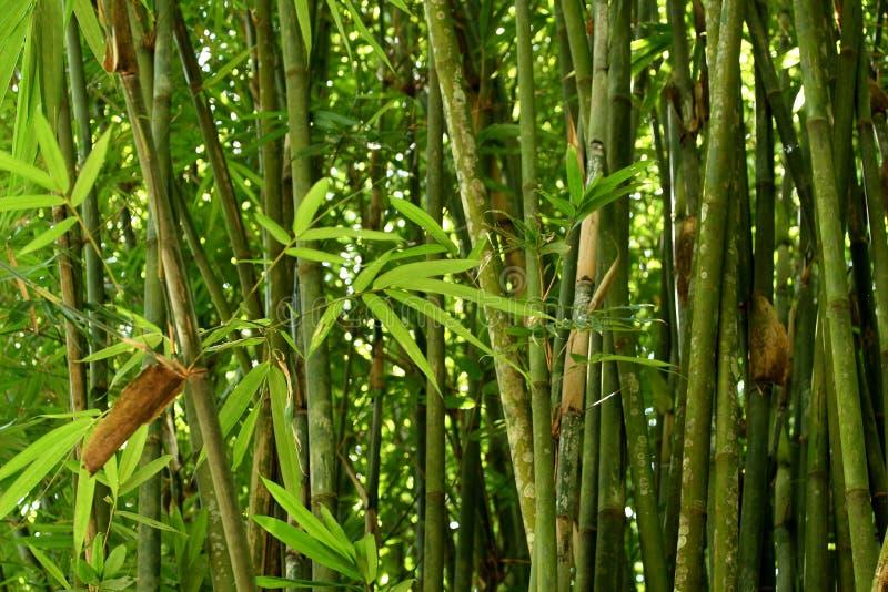 Arbustos De Bambu Fotografia de Stock Royalty Free