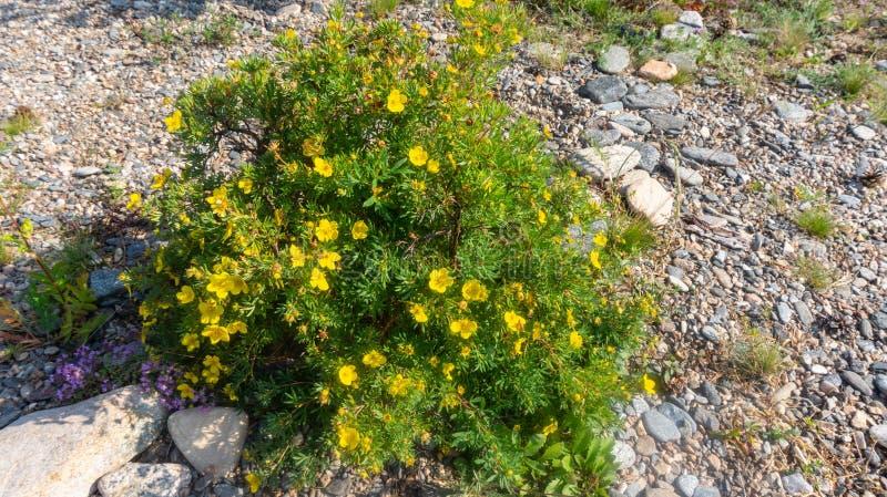 Arbustos de florecimiento entre las piedras fotos de archivo libres de regalías