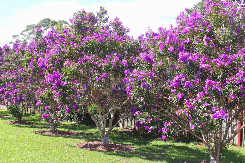 Arbustos de florescência de Tibouchina no parque nacional de Tamborine da montagem, Austrália imagem de stock