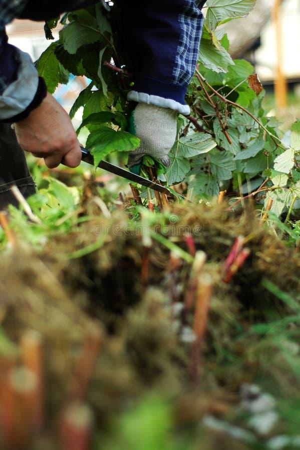 Arbustos de frambuesa de la poda con un cuchillo fotografía de archivo
