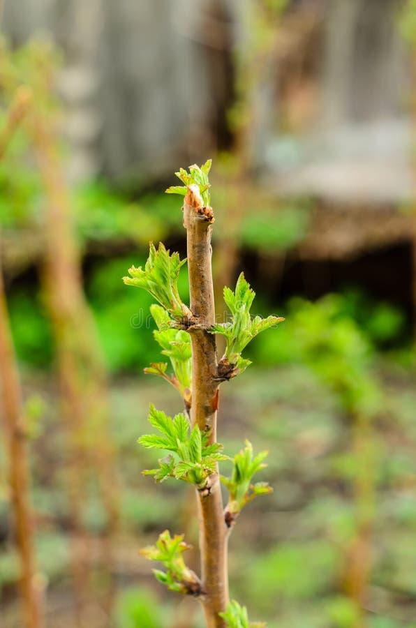 Arbustos de frambuesa en la primavera temprana fotografía de archivo