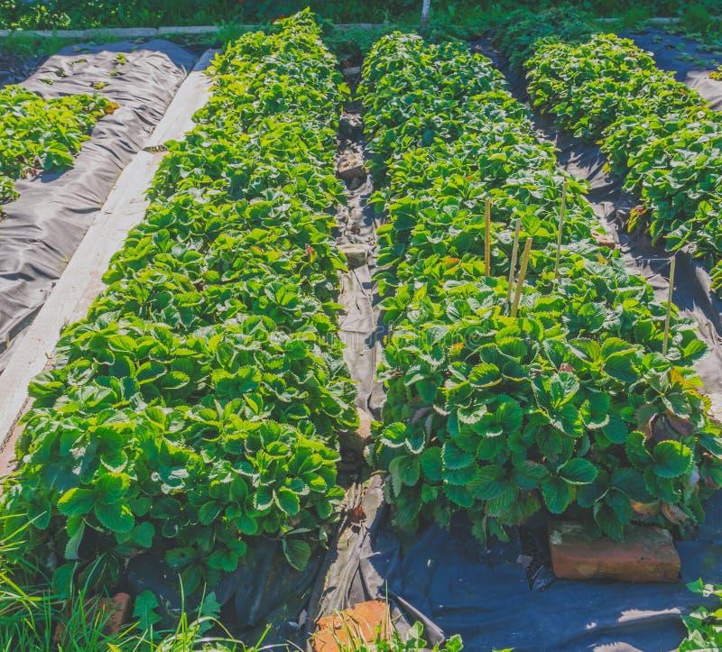 Arbustos de fresa que crecen en una cama de campo fotografía de archivo libre de regalías