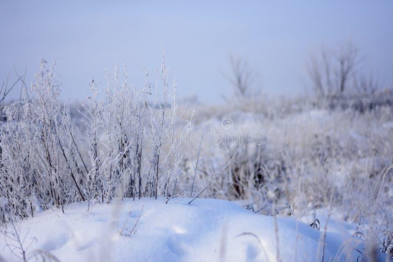 Arbustos de la hierba seca debajo de la nieve en una nieve acumulada por la ventisca fotografía de archivo libre de regalías