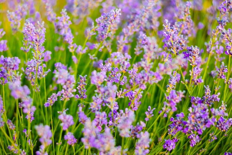 Arbustos de la lavanda floreciente foto de archivo
