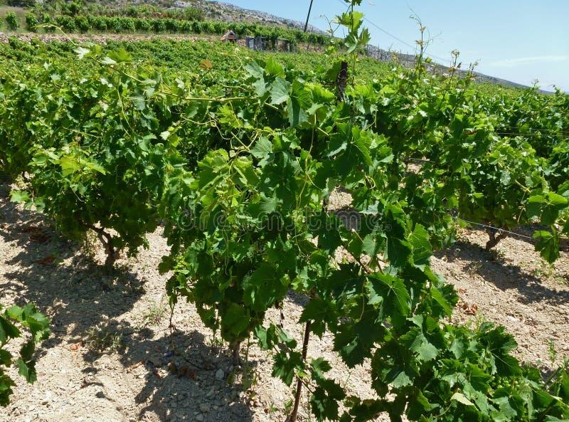 Arbustos de la uva en SpringTree foto de archivo libre de regalías