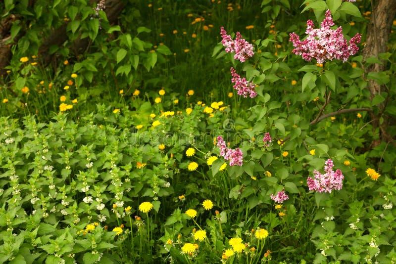 Arbustos de lila de la lavanda, dientes de león y ortiga muerta blanca fotos de archivo libres de regalías