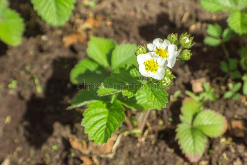 Arbustos de morango de floresc?ncia fotos de stock royalty free