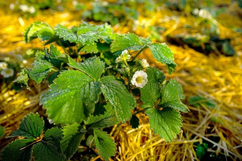arbustos de morango no orvalho foto de stock royalty free