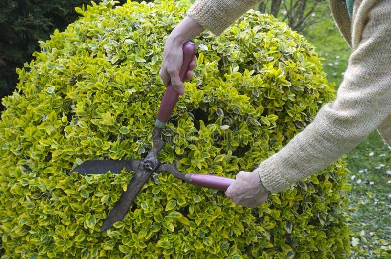 Arbustos del ajuste con las tijeras del jardín imagen de archivo libre de regalías