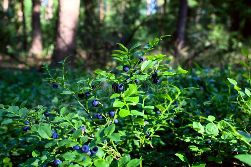 Arbustos del arándano en el bosque imágenes de archivo libres de regalías