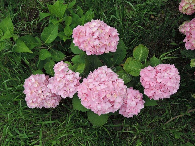 Arbustos del rosa floreciente de la hortensia en el jardín imágenes de archivo libres de regalías