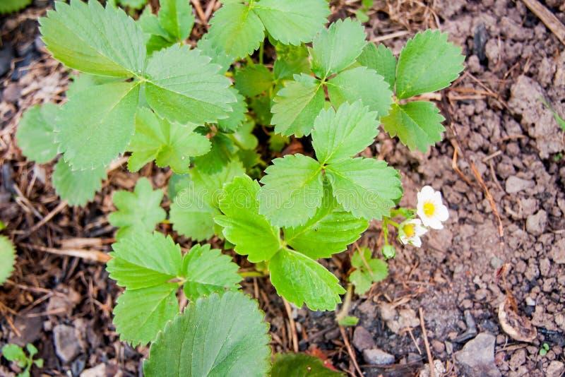 Arbustos do morango silvestre em um jardim fotos de stock