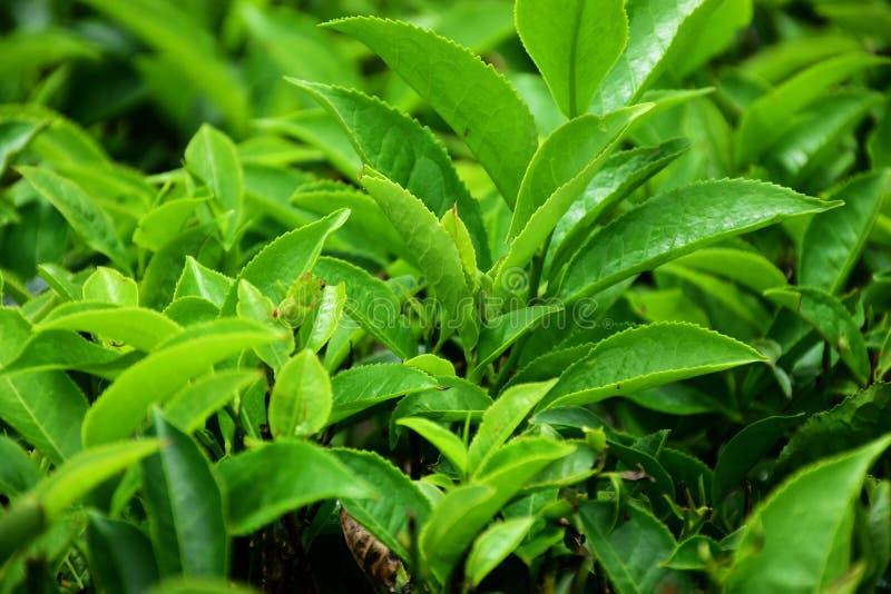 Arbustos e bot?es da ?rvore do ch? foto de stock royalty free