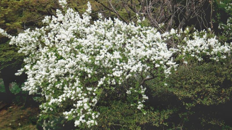 Arbustos e povos da flor branca fotos de stock royalty free