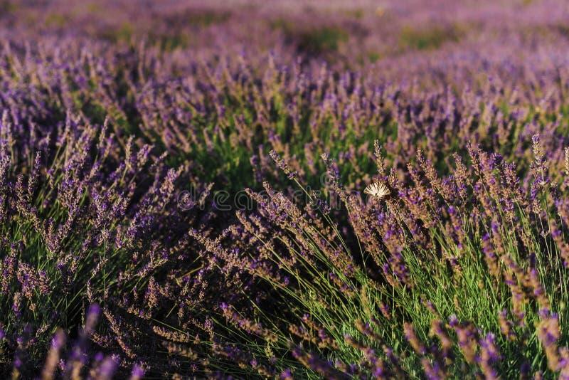 Arbustos florecientes de la lavanda francesa con la mariposa fotografía de archivo