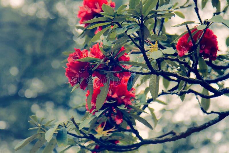 Arbustos florecientes, Himalaya rojo del rododendro del árbol imagen de archivo