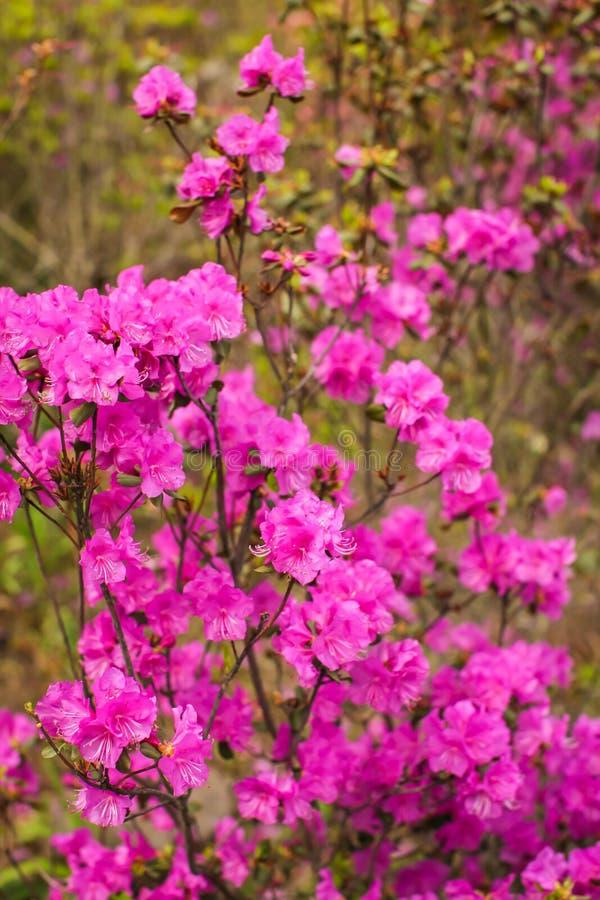 Arbustos florecientes rosados brillantes hermosos del dauricum o del Ledum del rododendro en bosque de la primavera fotos de archivo