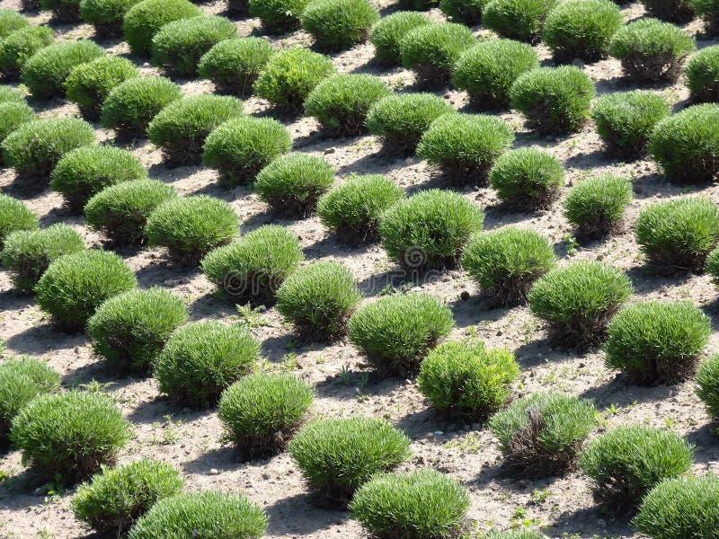 Arbustos Manicured En Filas Fotografía de archivo libre de regalías