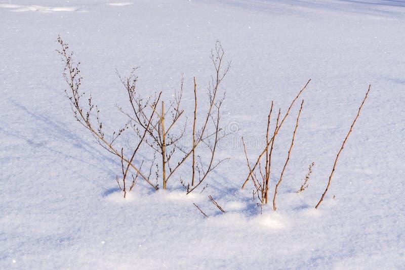 Arbustos na neve fotos de stock