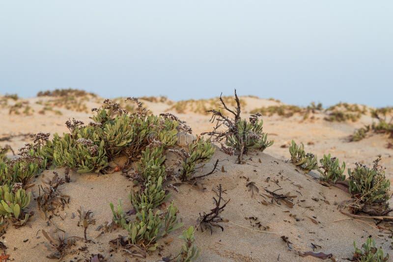 Arbustos no deserto do Mar Vermelho foto de stock royalty free