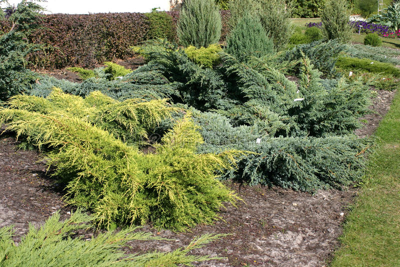 Arbustos ornamentales foto de archivo imagen de for Arbustos ornamentales de exterior
