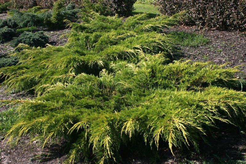 Arbustos ornamentales imagen de archivo imagen de for Arbustos ornamentales