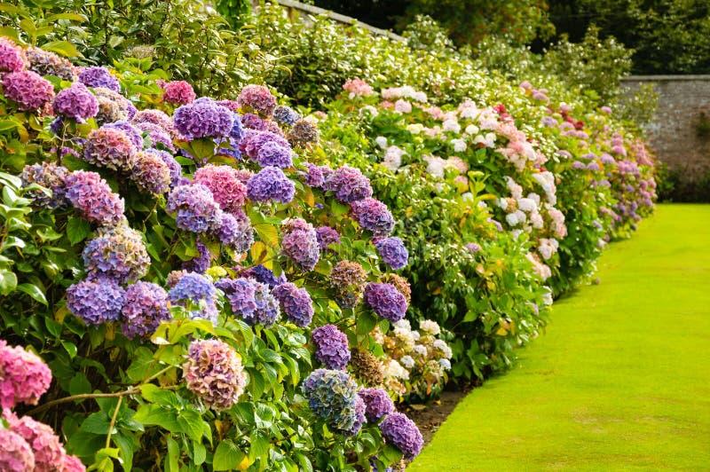Arbustos púrpuras, rosados, azules y blancos de la hortensia en un jardín en ira fotos de archivo