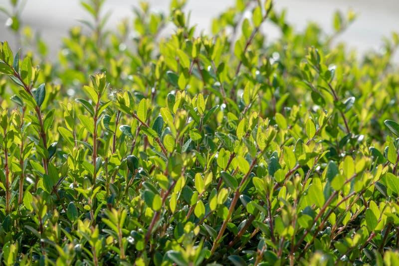 Arbustos verdes con las ramas arregladas y las hojas jovenes foto de archivo