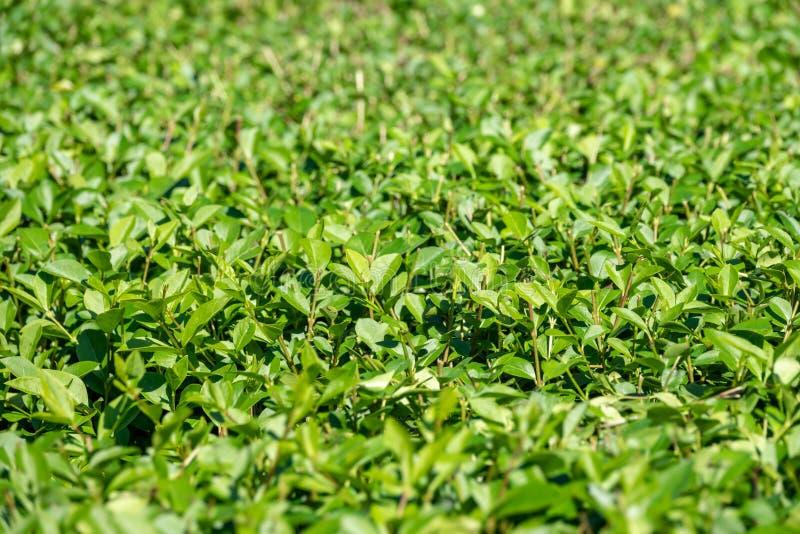 Arbustos verdes con las ramas arregladas y las hojas jovenes foto de archivo libre de regalías