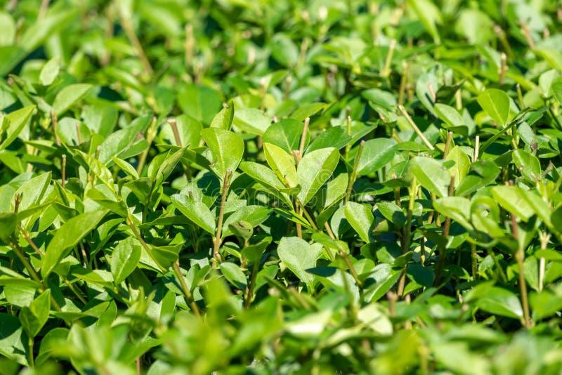 Arbustos verdes con las ramas arregladas y las hojas jovenes fotos de archivo libres de regalías
