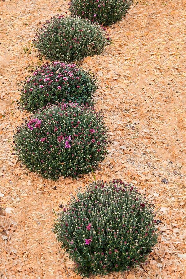 Arbustos verdes decorativos en los crisantemos del jardín imagenes de archivo