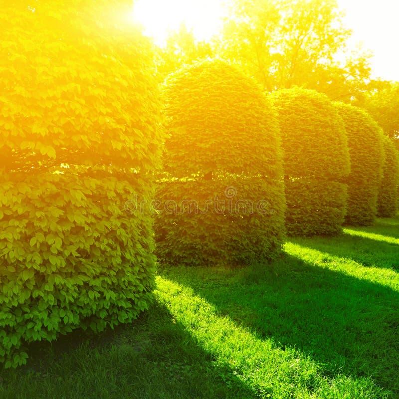 Arbustos verdes na luz do sol foto de stock royalty free