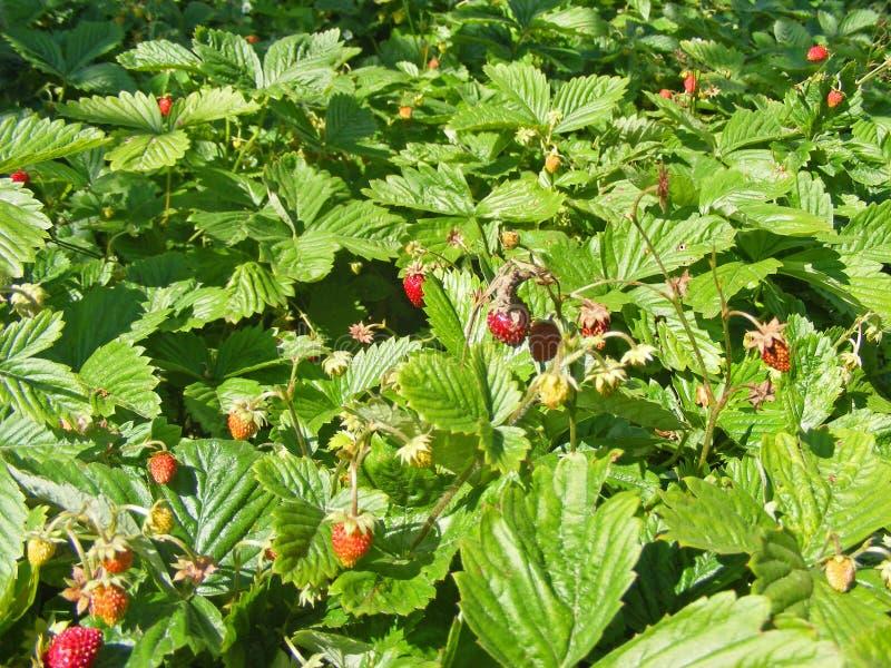 Arbustos y camas de la fresa salvaje con las bayas rojas imagen de archivo